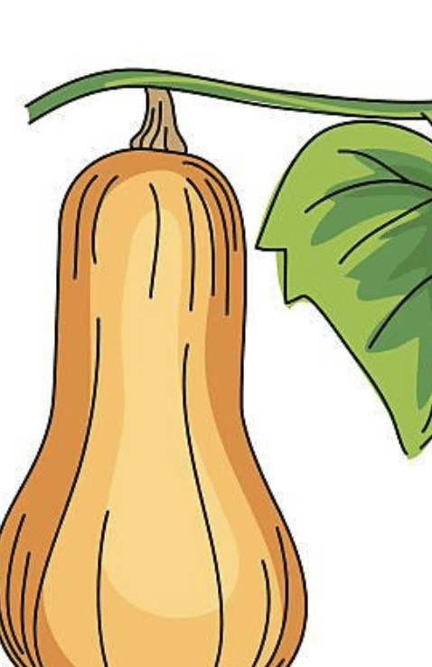 cartoon butternut squash vector illustration